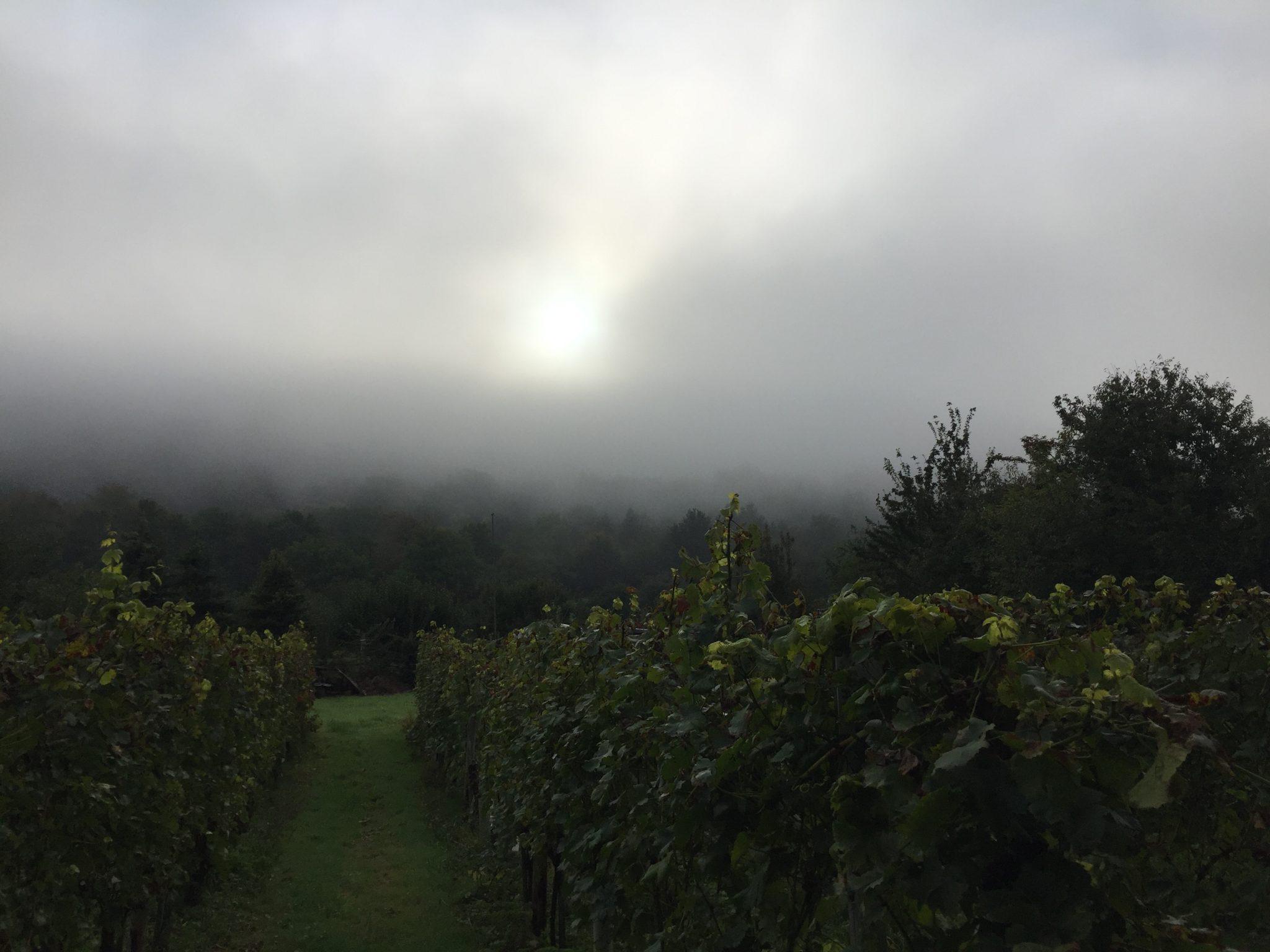 Weinberg im Nebel bei Alken, Mosel-Camino Etappe 2 nach Engelport