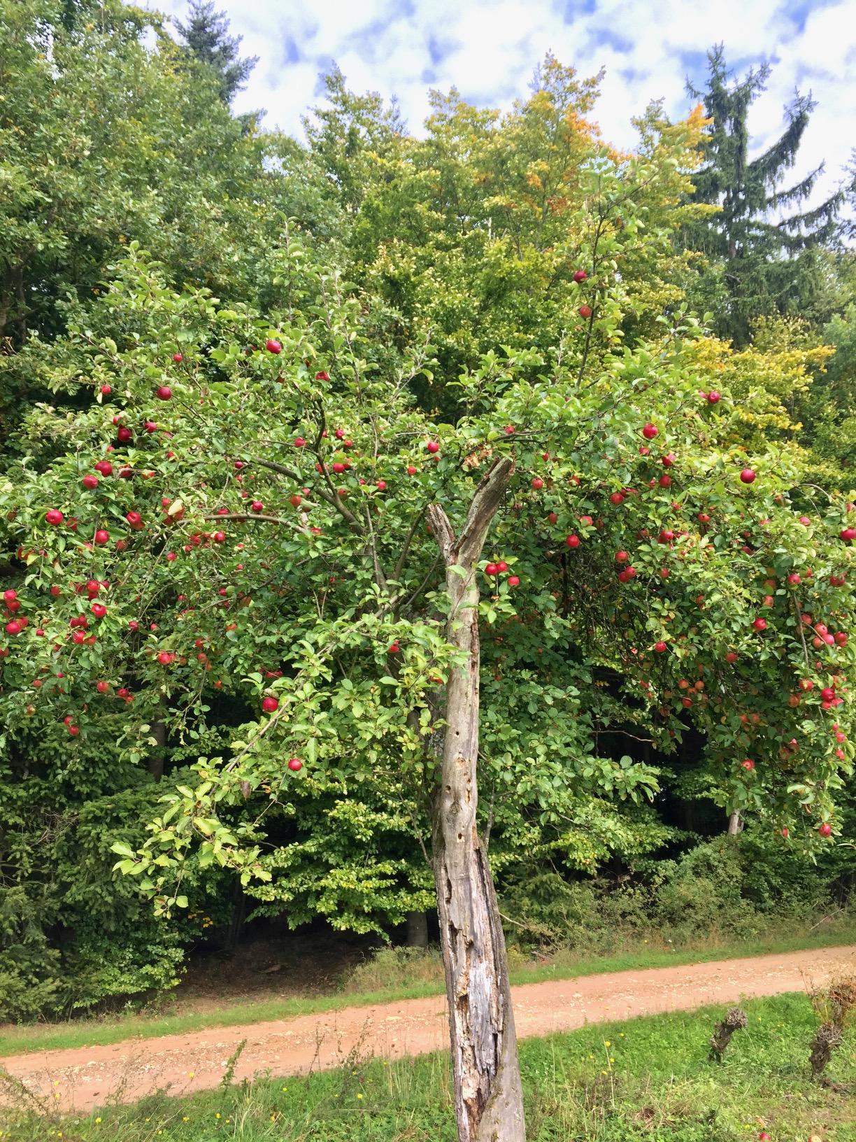 Voll behangener Apfelbaum am Zitronenkrämerkreuz auf dem Mosel-Camino nach Schweich