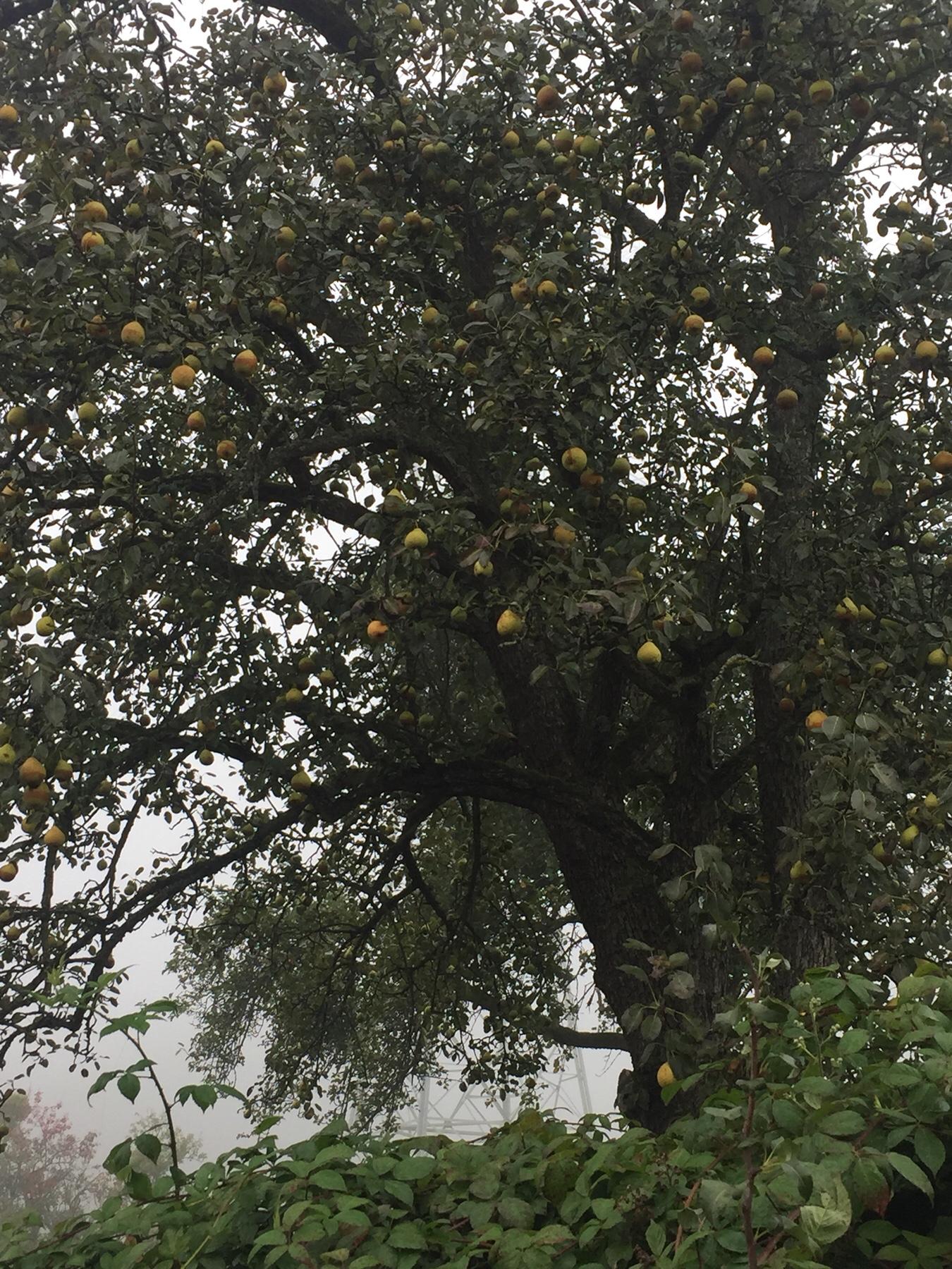 Birnbaum hinter Schweich auf dem Mosel-Camino nach Trier
