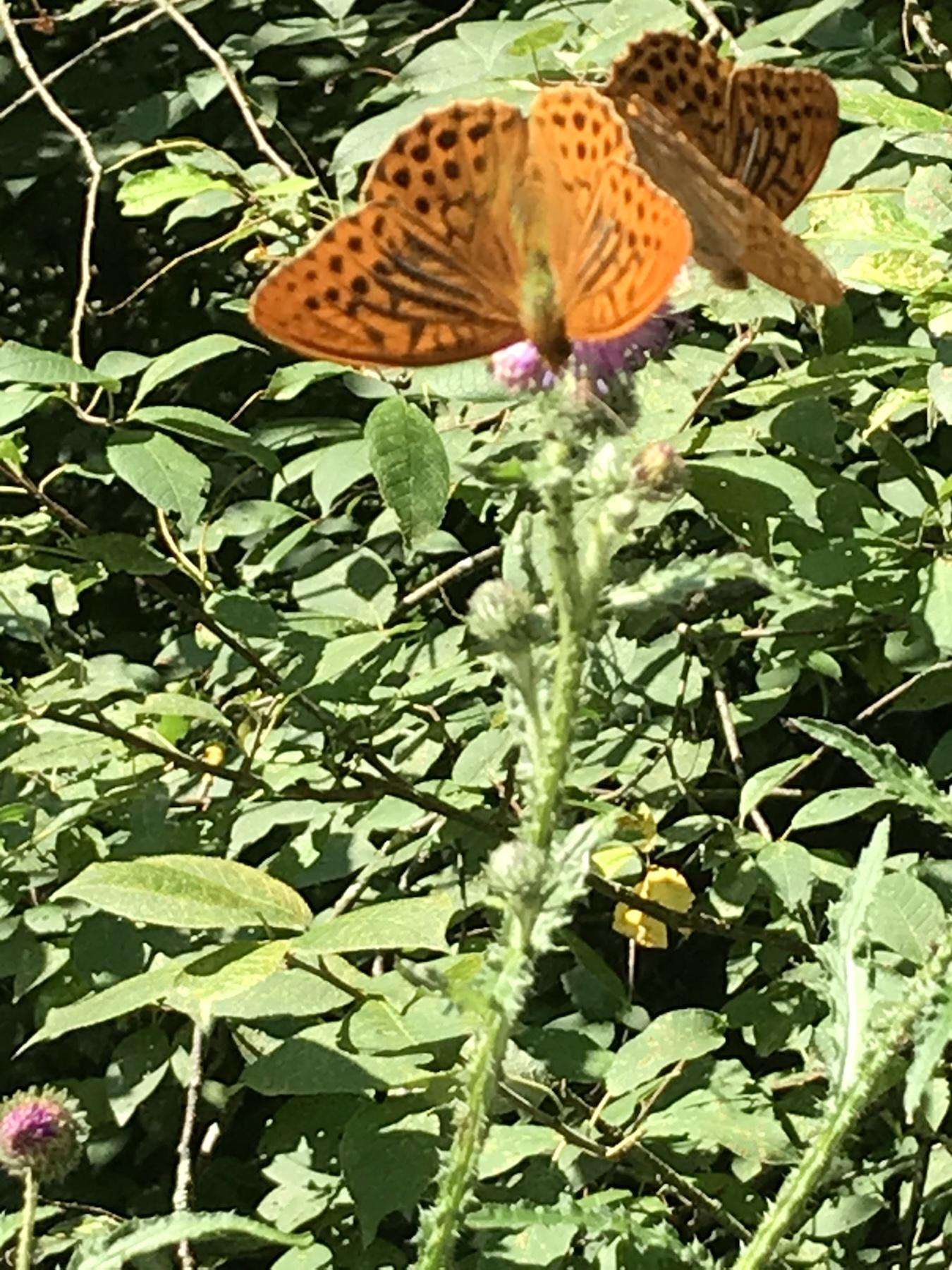 Kaisermantel mal zwei, viele Schmetterlinge im Harz am Hexenstieg