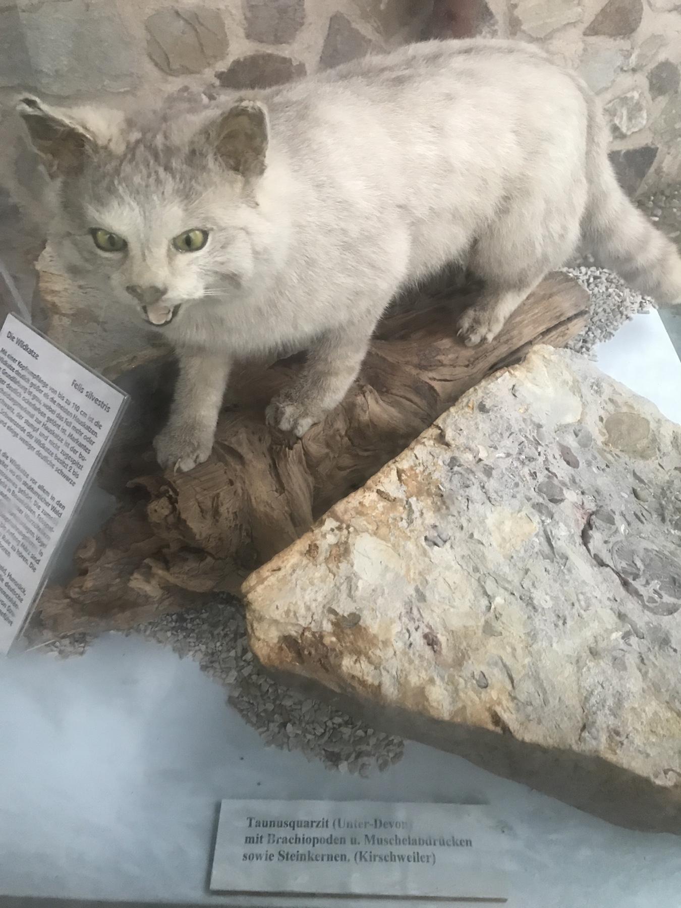 Präparierte Wildkatze