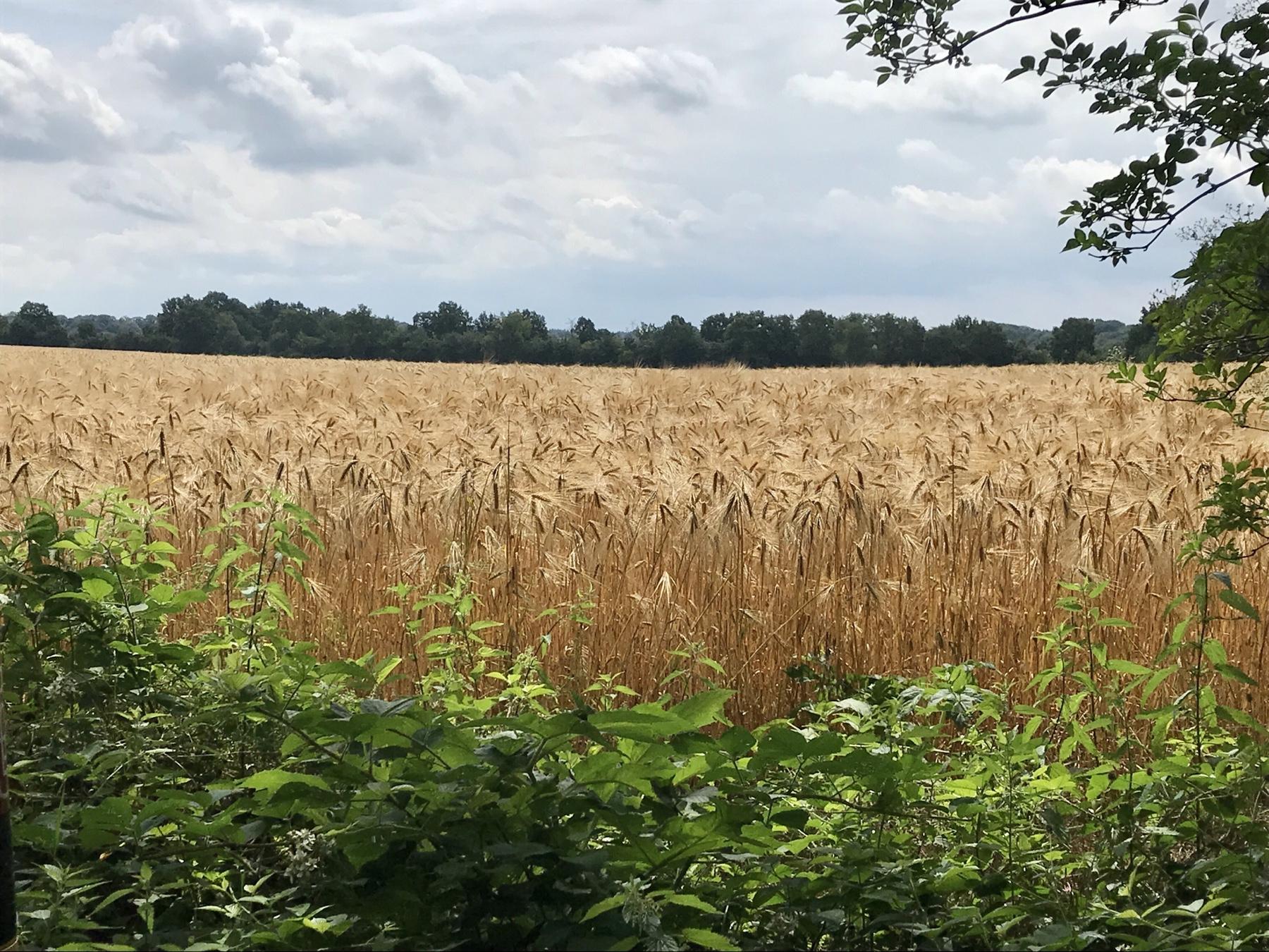 Goldenes Gerstenfeld