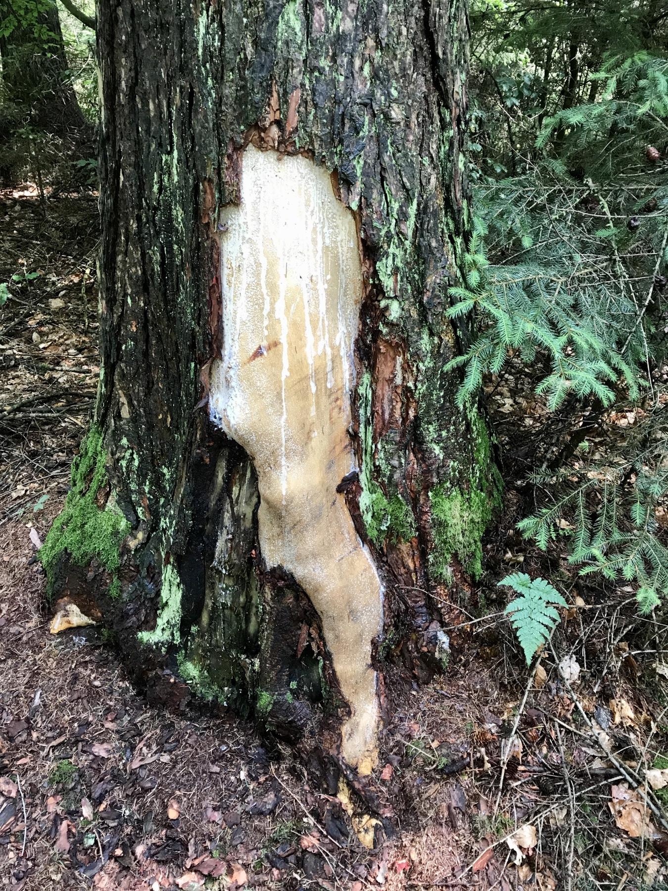 Nacktes Bein im Baum, Stormarnweg Etappe 1