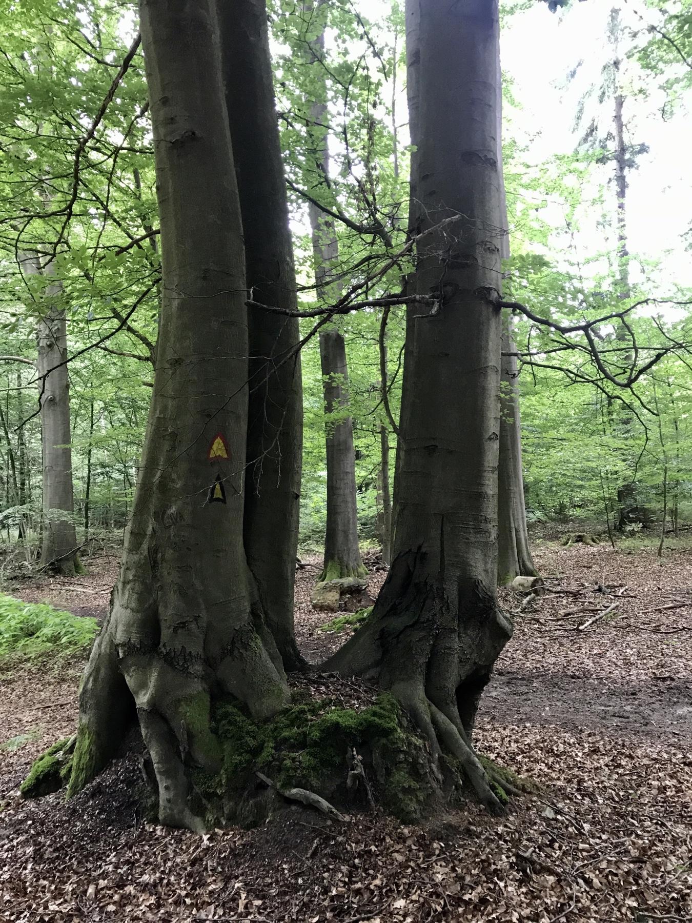 Baum im Naturschutzgebiet vor Lütjensee, Stormarnweg, Etappe 2