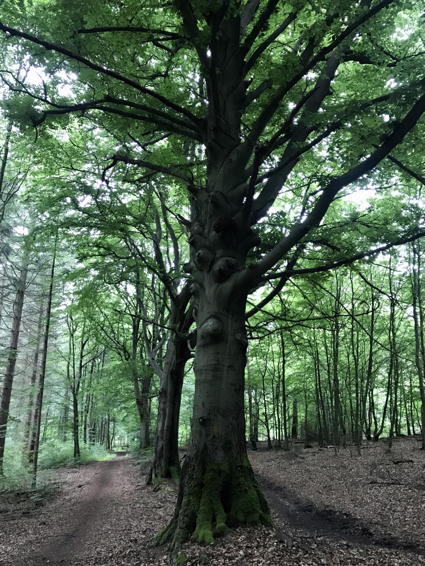 Alter Baum auf dem Weg nach Lütjensee, Stormarnweg, Etappe 2 Großensee Ahrensburg