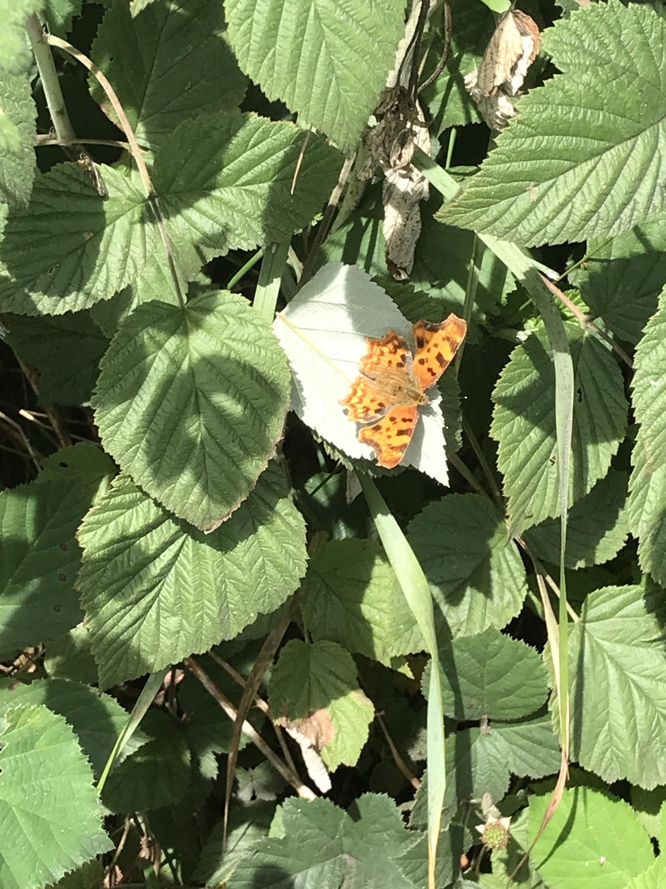 C-Falter Schmetterling auf dem Weg nach Elmshorn