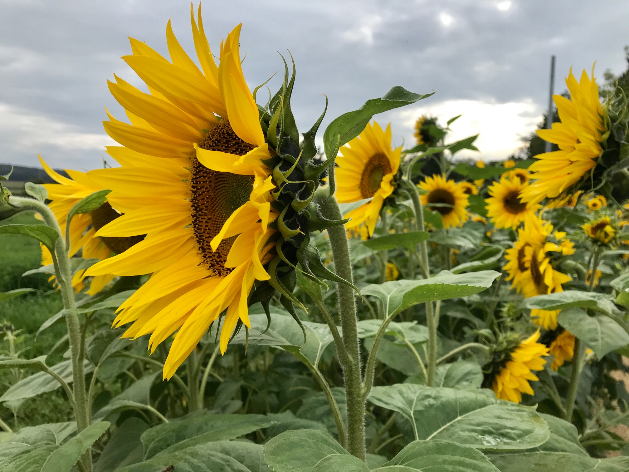 Sonnenblumenfeld am Ortsausgang von Lauterbach, HW1 Etappe 4 nach Heubach